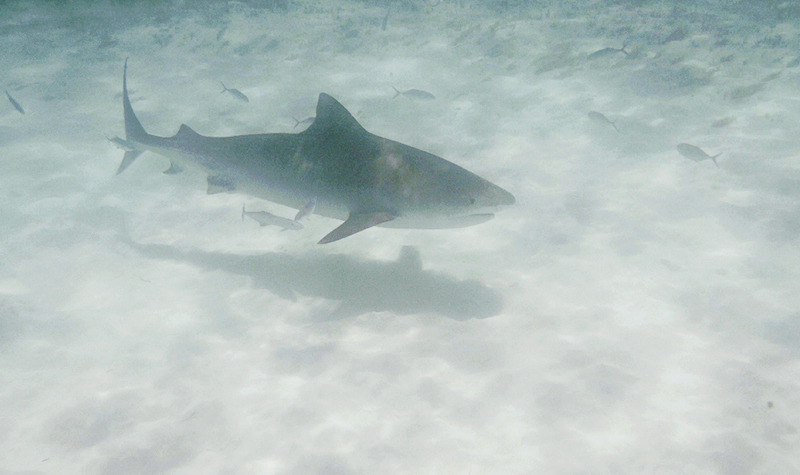 tiger shark in the Bahamas - informal wedding photographer